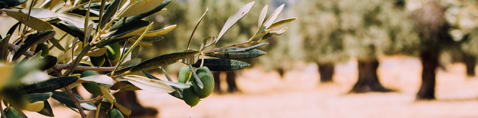 Historia de Aceites Echinac S.A., selección de aceites de oliva de calidad