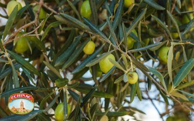 ¿Qué es el aceite de oliva ecológico y en qué se diferencia del AOVE tradicional?