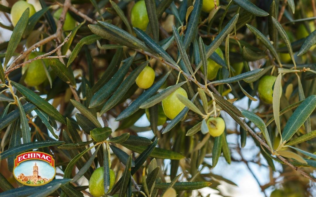 Aceite de Oliva Ecológico Echinac